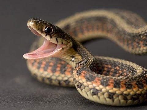 صور اخطر انواع الثعابين , معلومات عن الثعابين القاتله